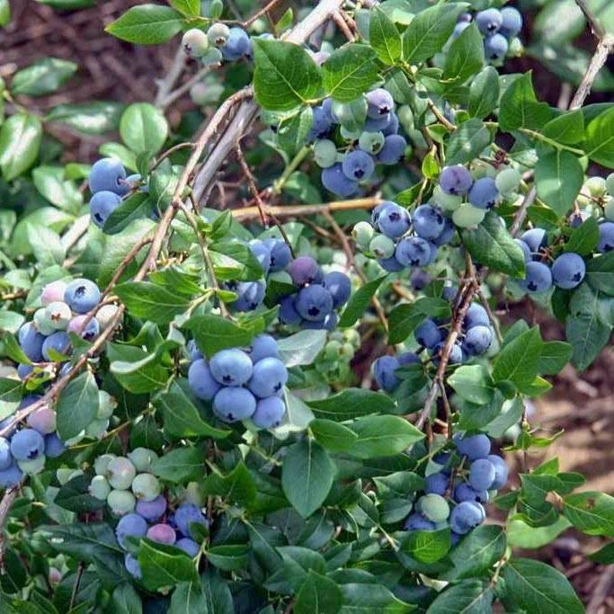 Голубика дюк – описание сорта: характеристики растения и плодов, преимущества, техника выращивания