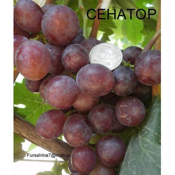 Особенности сорта винограда «сенатор» от селекционера е. г. павловского