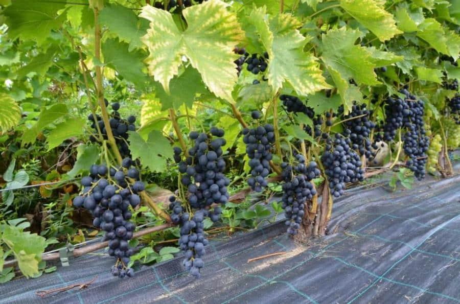 Особенности винограда «зилга»: отзывы, описание, интересные особенности и способы размножения