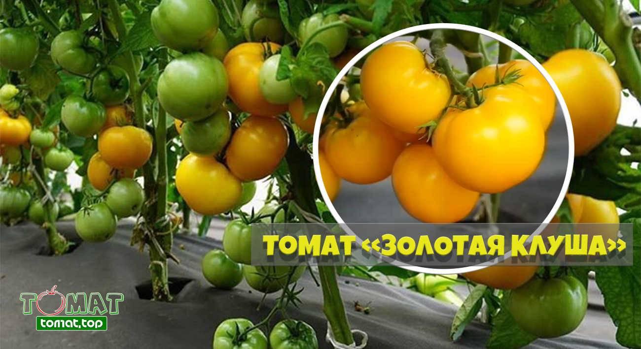 Томат «клуша» («супер-клуша») — описание, фото, характеристика и выращивание сорта помидоров