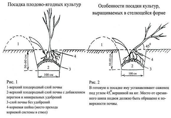 Уход за ежевикой садовой весной и летом: орезка и советы по посадке