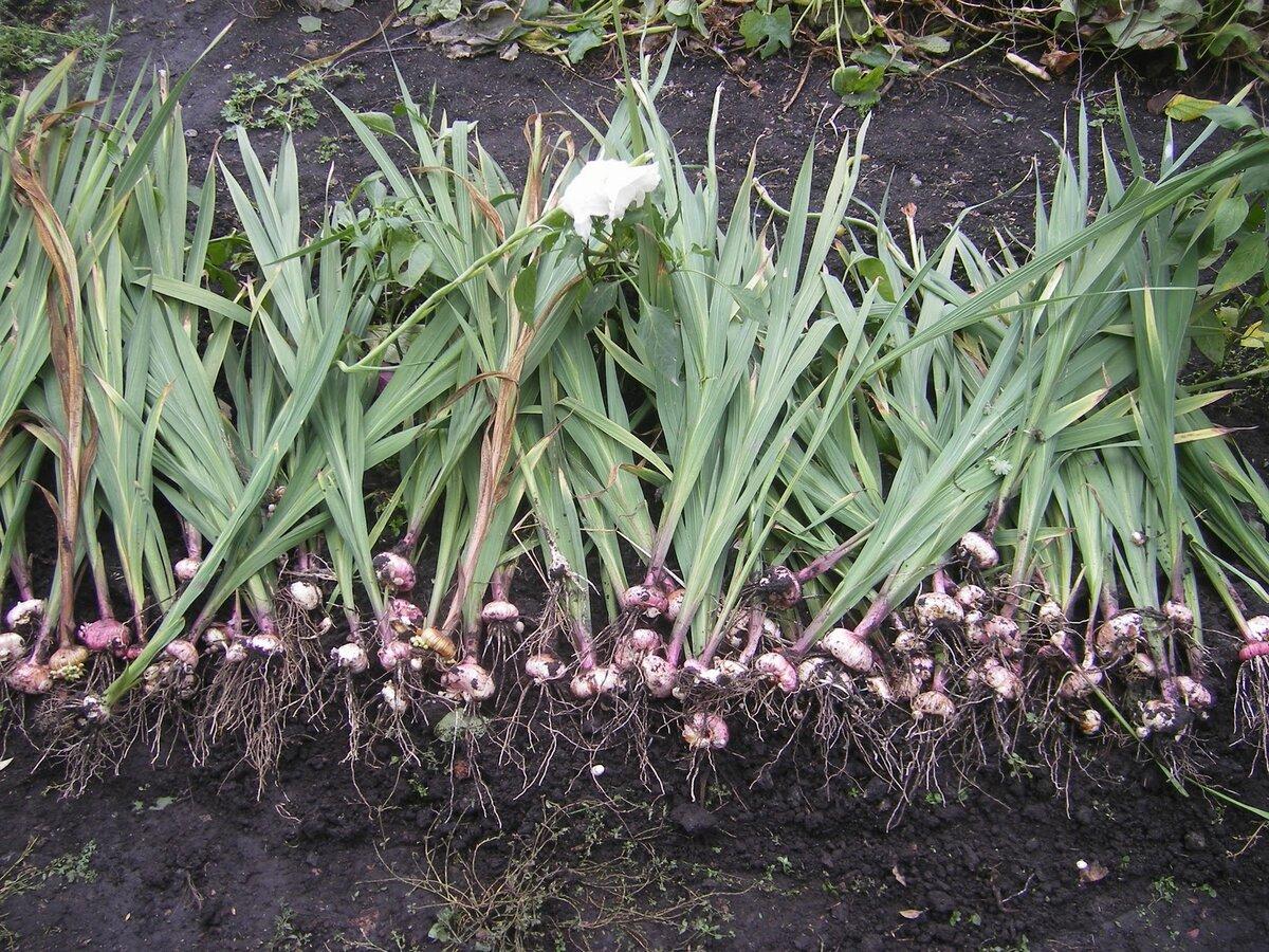 Как хранить гладиолусы в домашних условиях - когда выкапывать луковицы и условия хранения