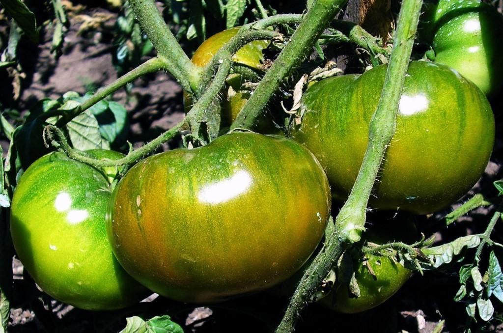 Изумрудное яблоко — описание сорта томата и особенности выращивания