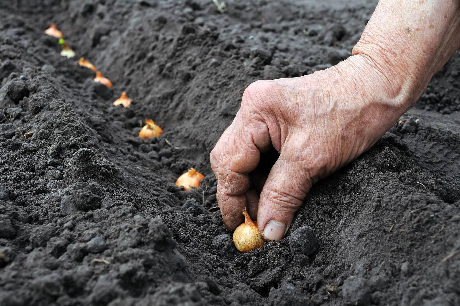 Посадка, выращивание и уход за чесноком в открытом грунте