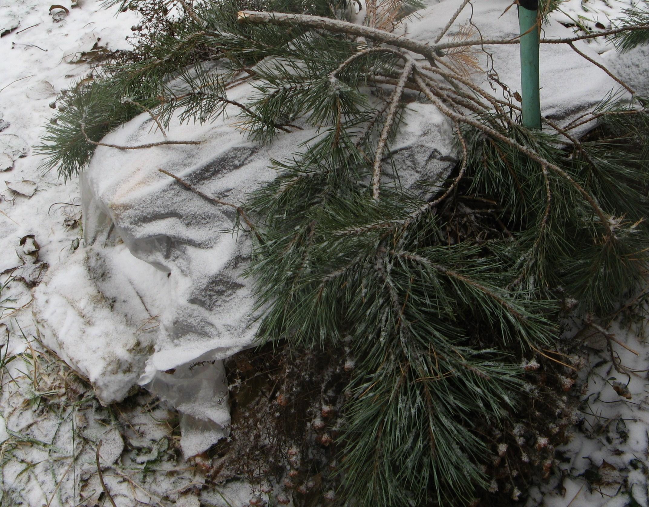 Уход за спиреей после цветения и осенью, подготовка к зиме: обрезка и укрытие