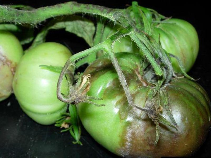 Почему чернеют листья у помидоров – причины и признаки заболеваний