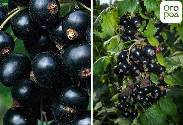 Черная смородина: выращивание и уход на дачном участке