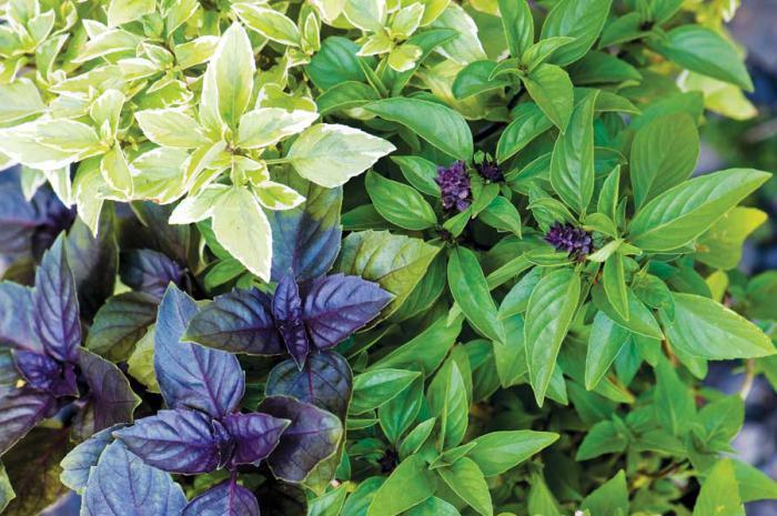 Базилик фиолетовый: польза, применение, сорта, выращивание