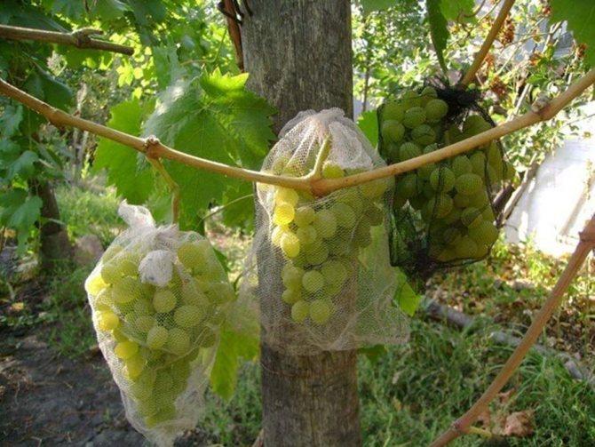 Как избавиться от ос на винограднике | fermer.ru - фермер.ру - главный фермерский портал - все о бизнесе в сельском хозяйстве. форум фермеров.