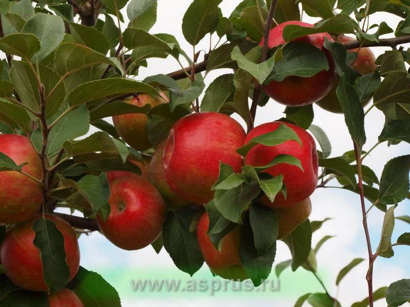 """Яблоня """"фуджи"""": описание сорта, фото, отзывы"""