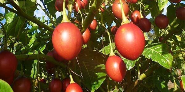 Тамарилло, или томатное дерево