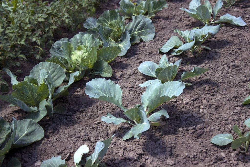 Как вырастить савойскую капусту: начинаем с рассады, посадка в открытый грунт, уход