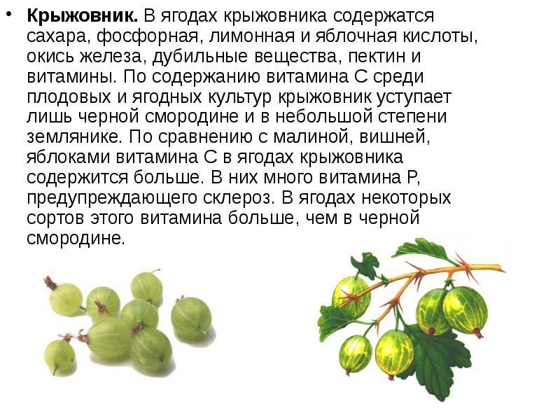 Полезные свойства крыжовника и вред для здоровья: польза плодов, польза листьев, рецепты, кому вреден крыжовник, видео, фото