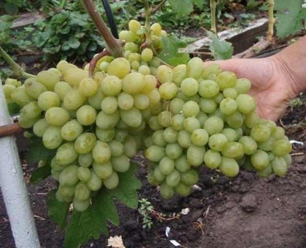 Разновидность мускатного винограда — белый