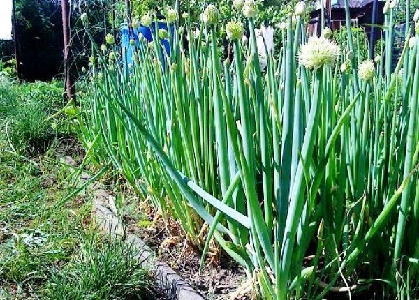 Сорта многозачаткового лука | во саду и в огороде