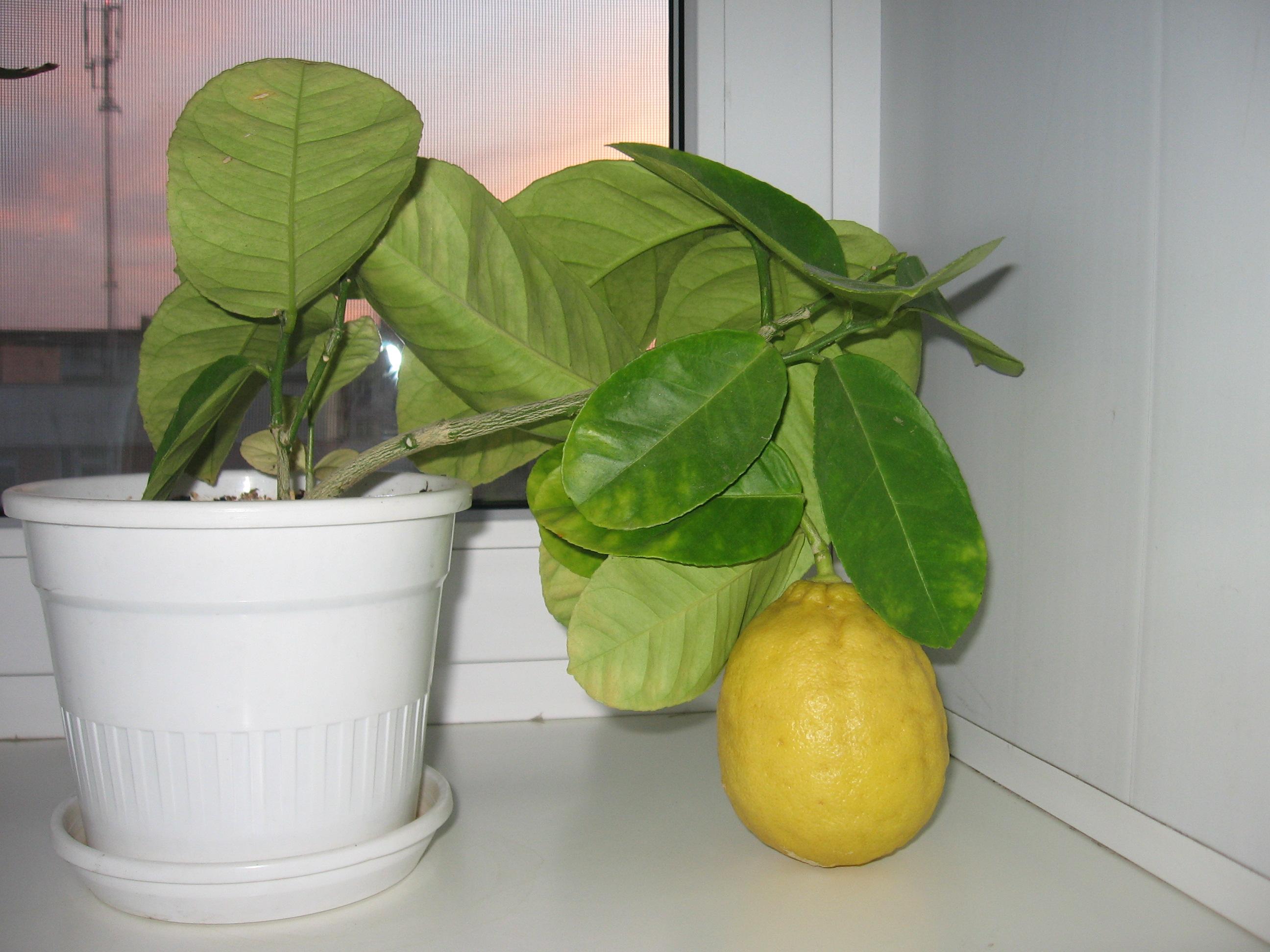 Лимон лунарио: уход в домашних условиях, описание сорта - сельская жизнь