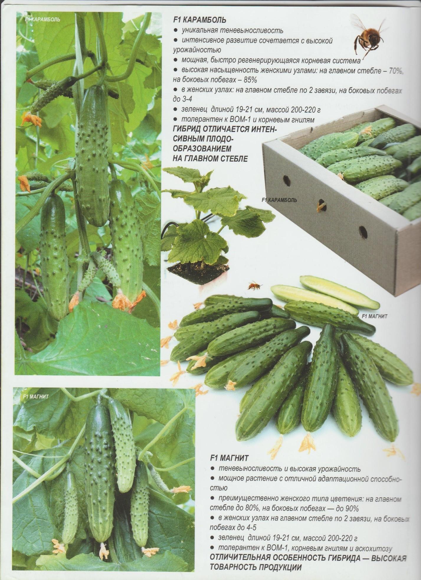 Лучшие сорта пучковых огурцов для теплицы и открытого грунта: описания и правила выращивания