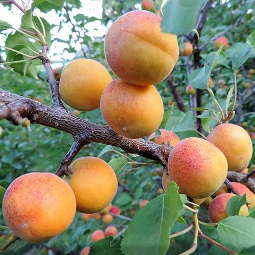 Абрикос чемпион севера: описание сорта, достоинства и недостатки, характеристика плодов, обработка от вредителей, особенности агротехники, отзывы и советы