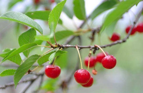 Почему не плодоносит вишня: что делать, наиболее частые причины и методы решения