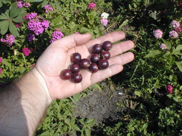Черная смородина «зеленая дымка»: десертная и урожайная