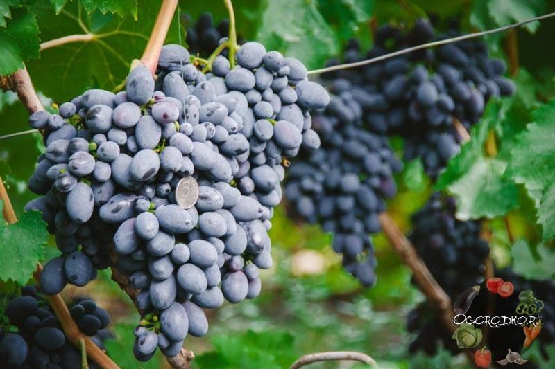Виноград долгожданный: описание сорта с характеристикой и отзывами, особенности посадки и выращивания, фото