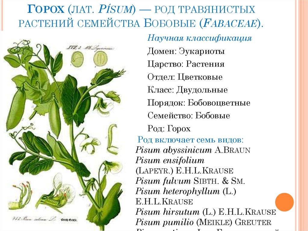 Горох посевной: что это такое и описание лучших высокоурожайных сахарных, мозговых и лущильных сортов овощной культуры с семенами разной формы и крупного размера