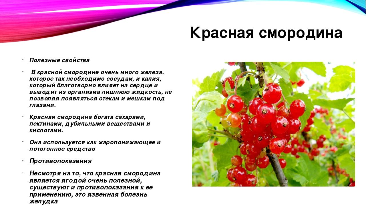 Польза и вред красной смородины для здоровья, свойства и противопоказания