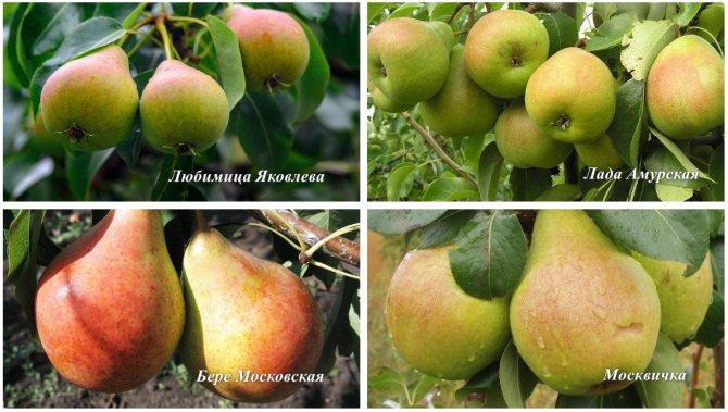 Груша лада: описание самоплодного морозоустойчивого сорта, фото и отзывы садоводов, которые выращивают