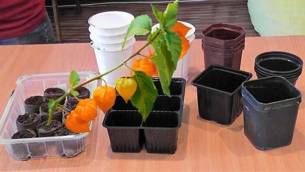 Когда и как сажать физалис на рассаду в 2021 году, выращивание из семян съедобного, посадка и уход с видео