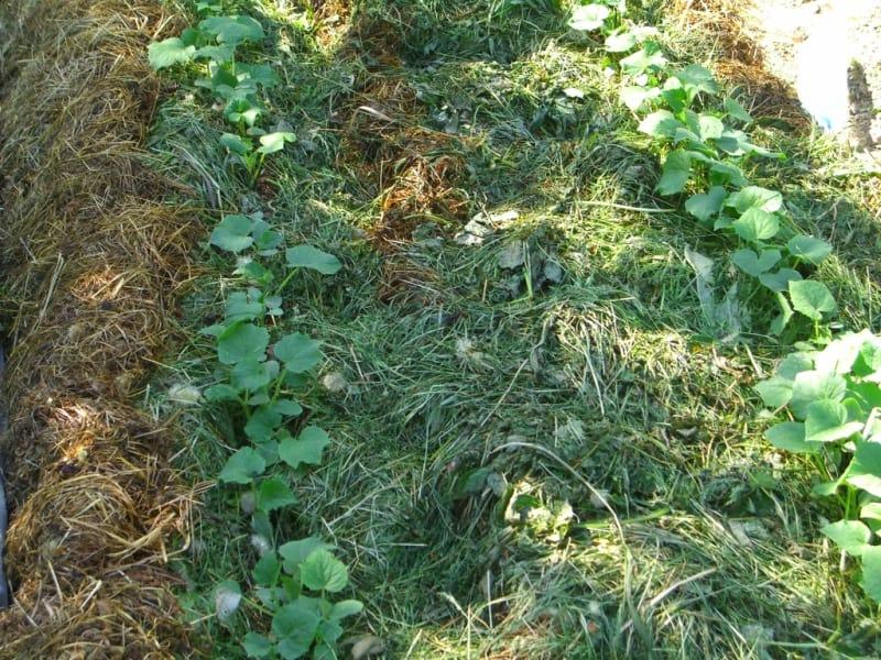 Можно ли мульчировать грядки опилками: свежие или перепревшие, какие лучше добавлять в почву на открытом грунте и в теплице, а какие для посыпки между рядами?