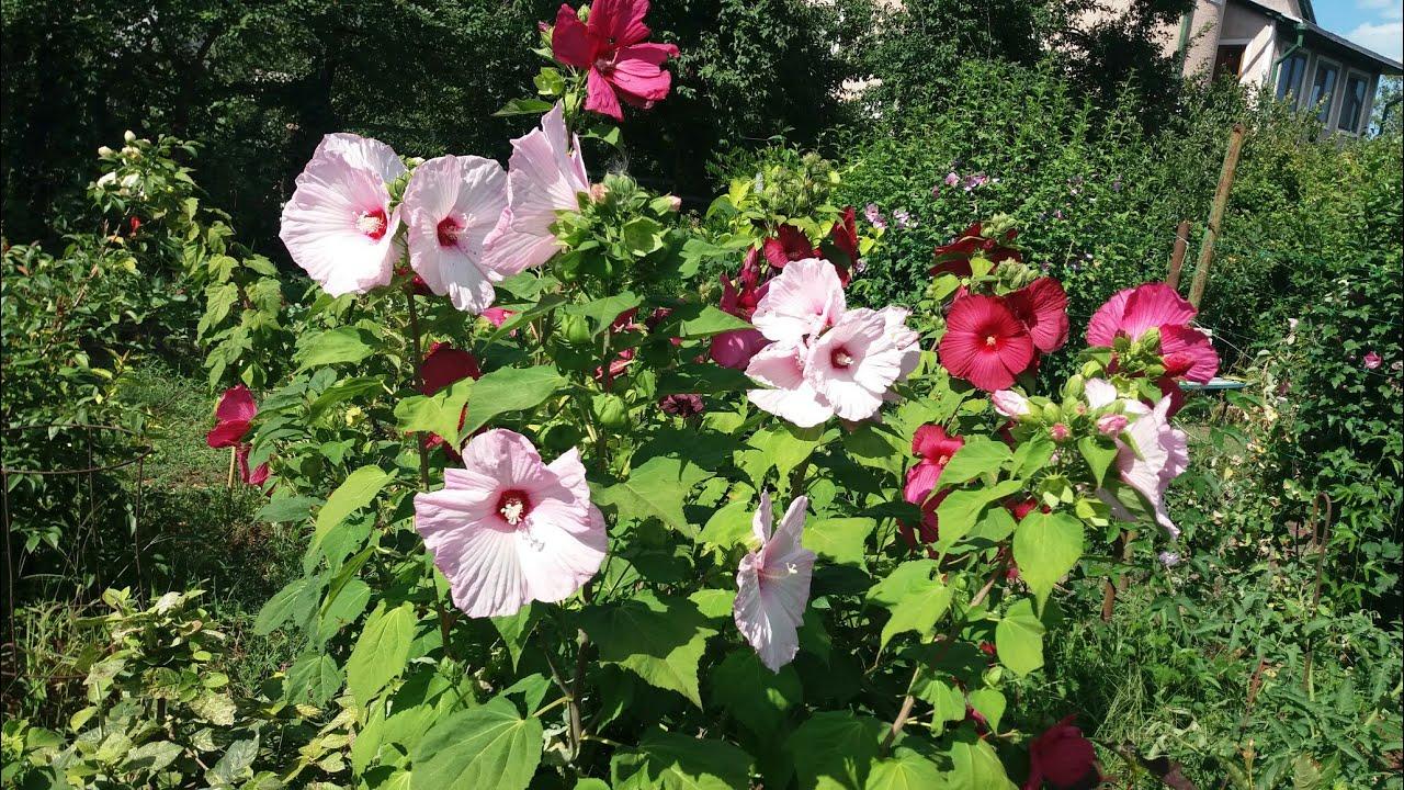 Гибискус травянистый: фото в саду, как зимует? selo.guru — интернет портал о сельском хозяйстве