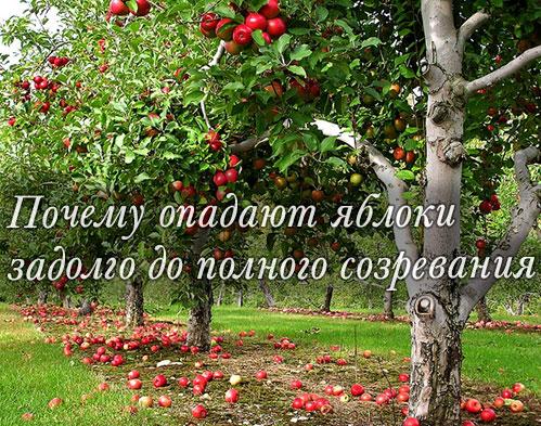 Почему яблоня сбрасывает завязи плодов: болезни и вредители, неправильный уход