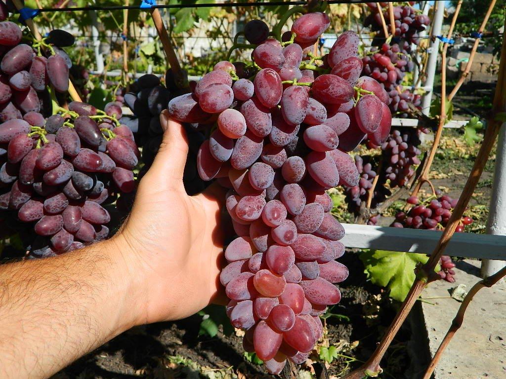 Виноград сенатор — познаем по порядку