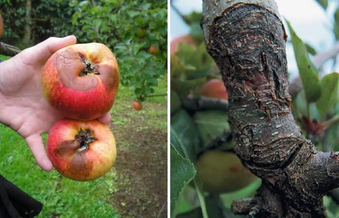 Рак яблони: симптомы, лечение, бактериальный и черный вид, устойчивые к болезни сорта