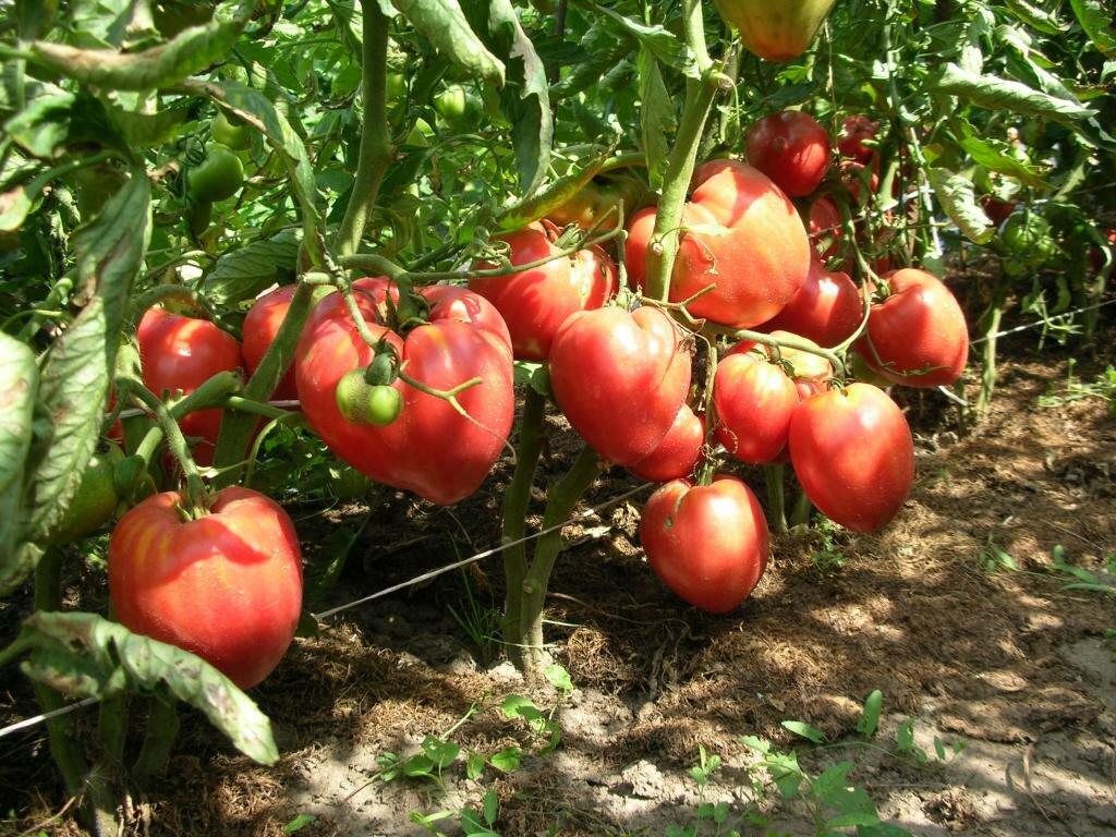 Томат чудо уолфорда характеристика и описание сорта - журнал садовода ryazanameli.ru