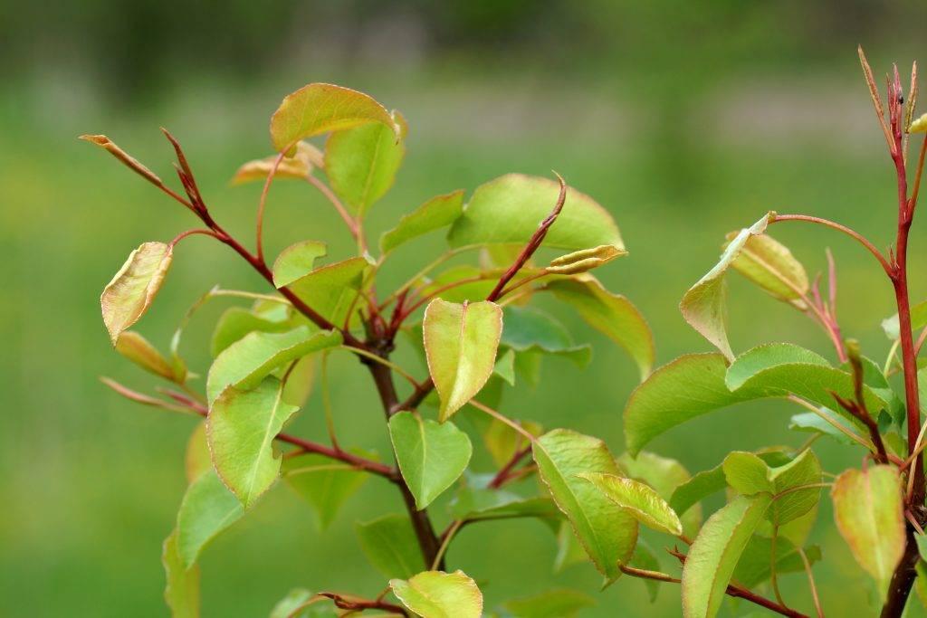 Причины, почему может не плодоносить груша и что делать, как заставить цвести - всё про сады