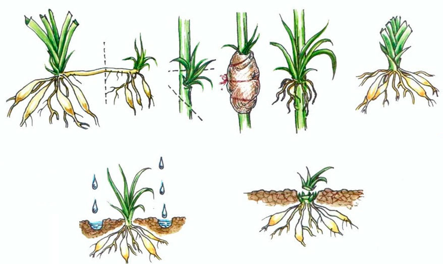 Лилии – размножение чешуями
