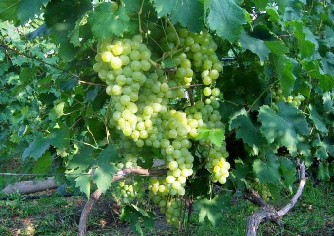 Виноград «Сира»: Классический и непревзойдённый сорт