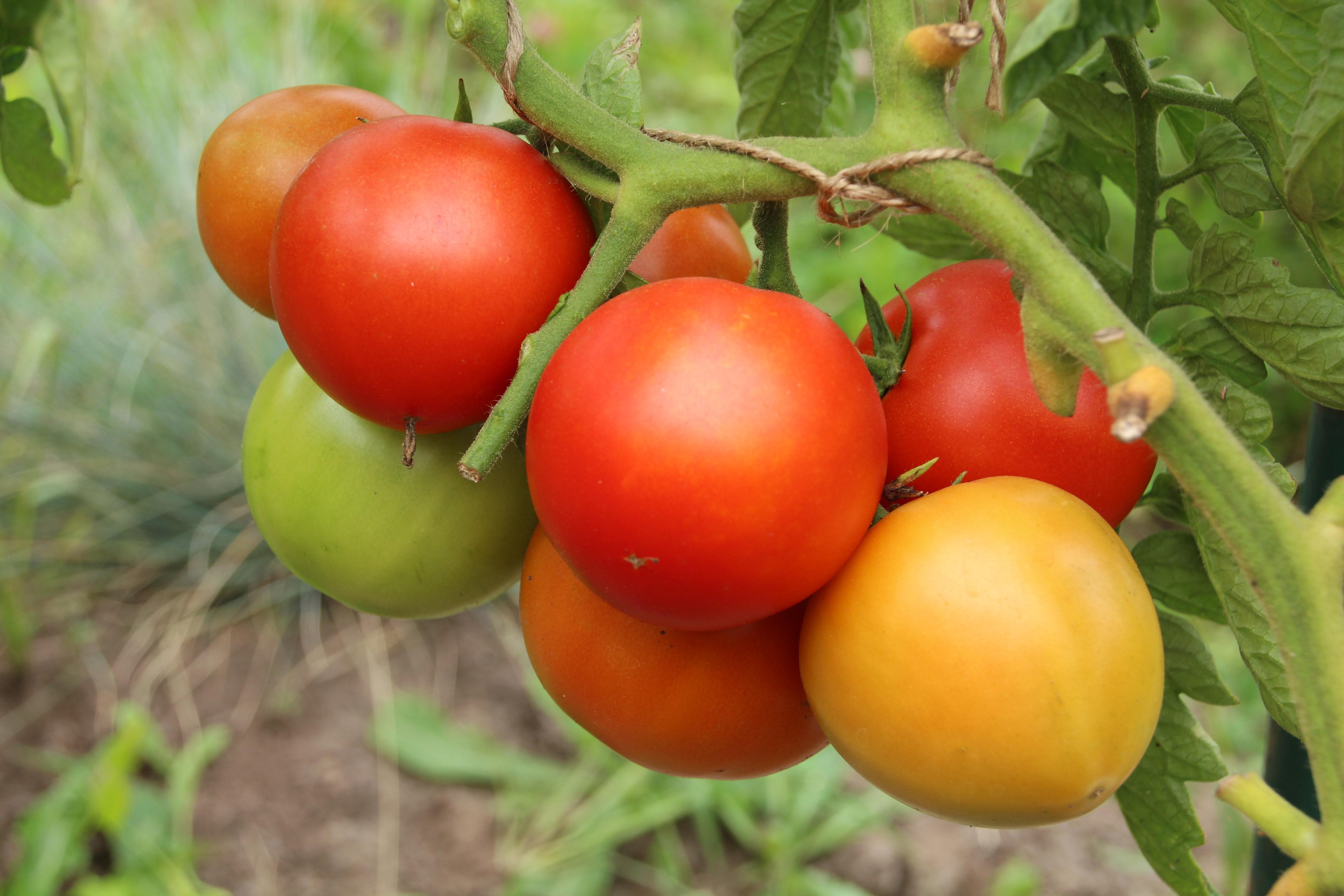 Томат медвежонок f1: характеристика и описание сорта с фото, урожайность помидора ф1, посадка в грунт и уход, отзывы