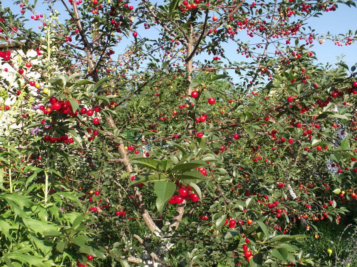 Лучшие сорта вишни для подмосковья