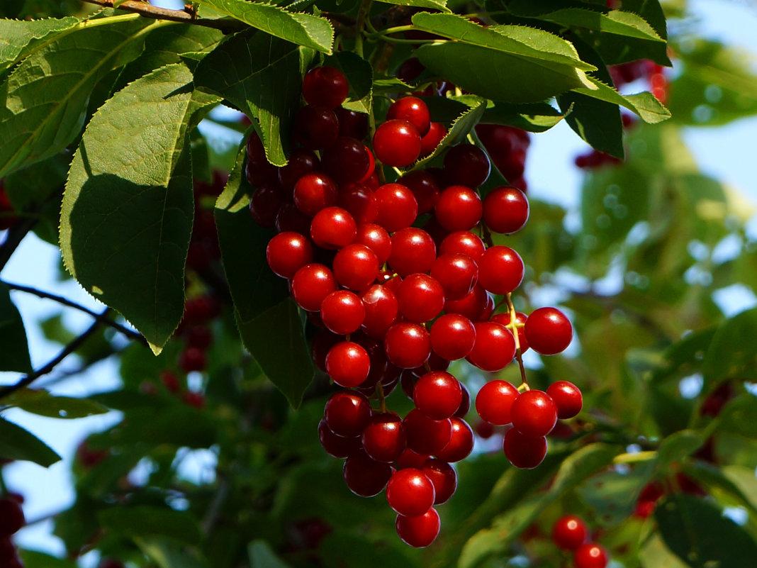 Гибрид вишни и черемухи (церападус): сорта, со смородиной гибрид вишни и черемухи (церападус): сорта, со смородиной