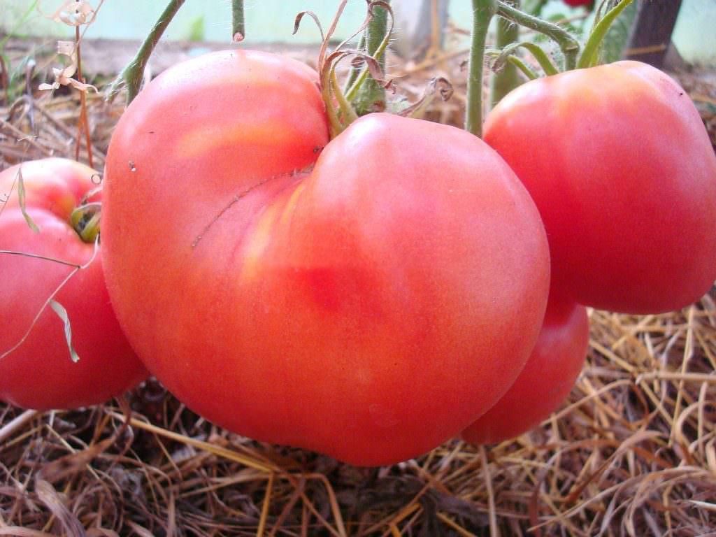 Томат батяня: описание сорта, отзывы, кто сажал, выращивание, фото
