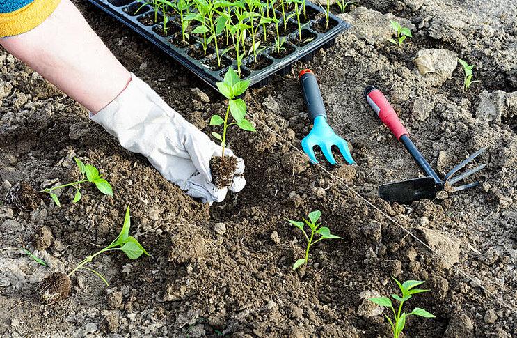 Когда сеять помидоры на рассаду и в теплицу в 2021 году: сроки посадки