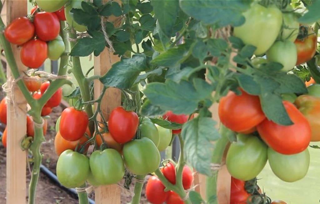 Томат великосветский f1 (партнер) - описание сорта гибрида, характеристика, урожайность, отзывы, фото