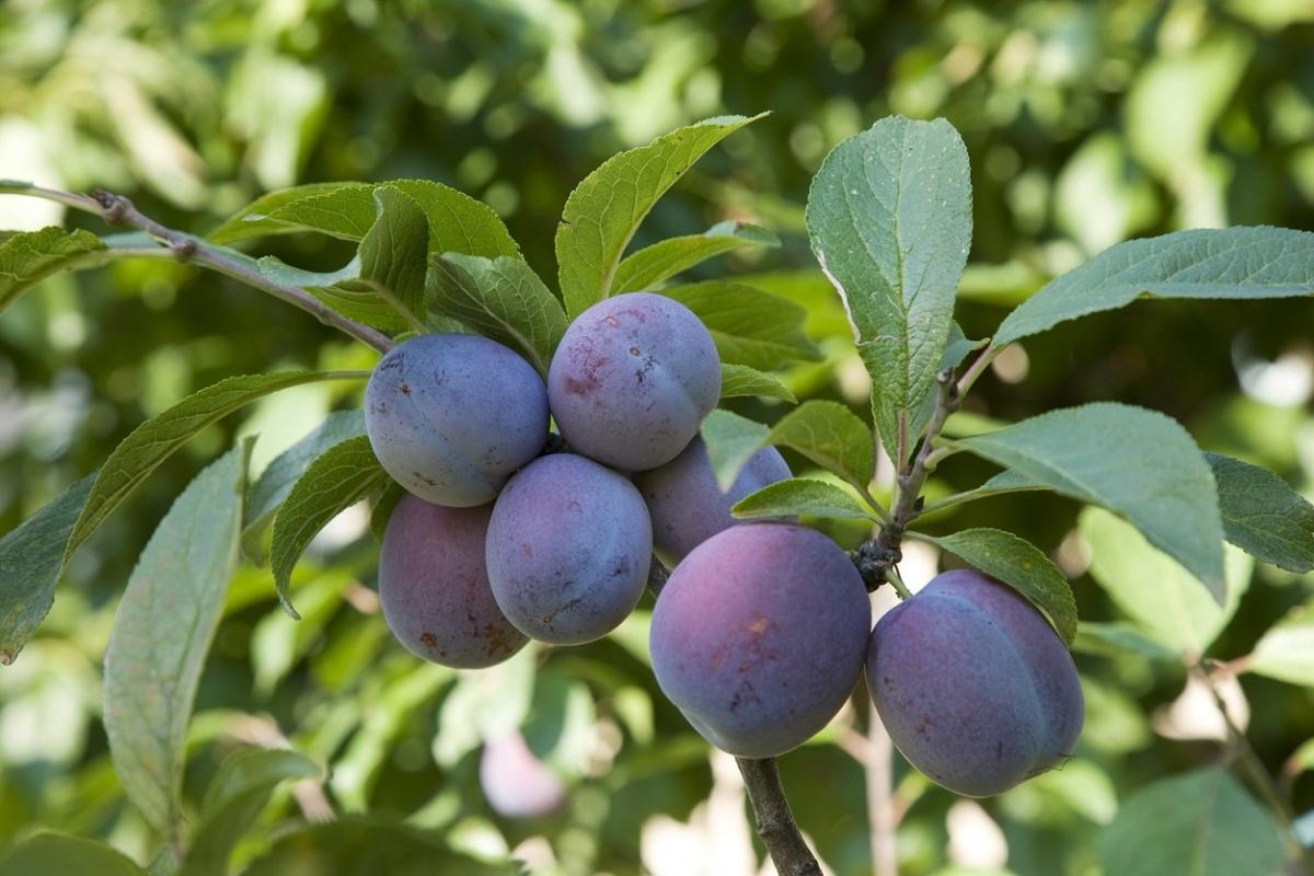 Слива венгерка – описание сорта, фото и советы по выращиванию