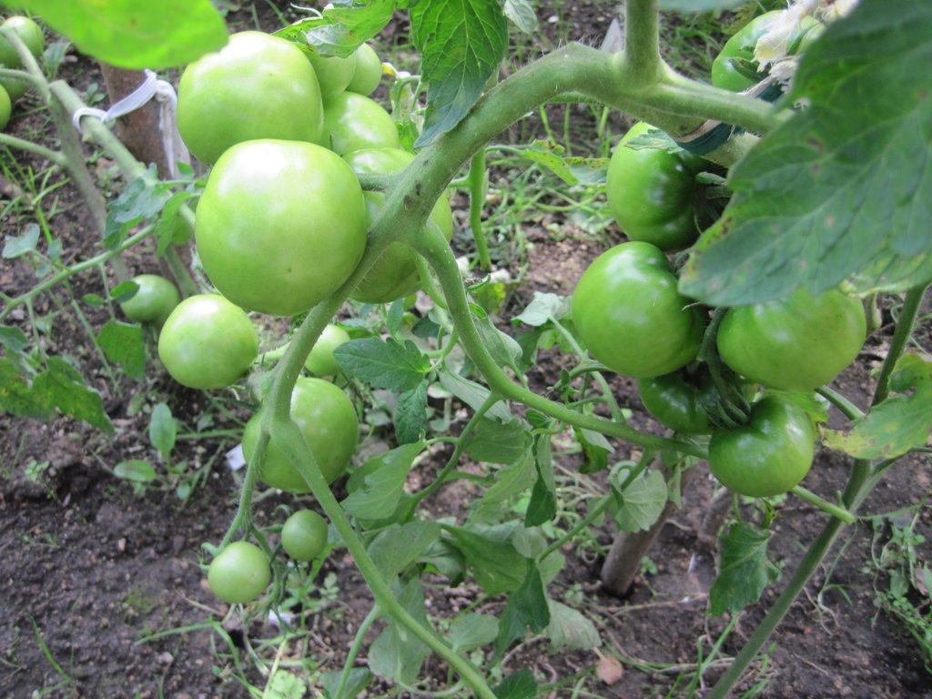 Томат катюша: характеристика и описание сорта, урожайность отзывы фото