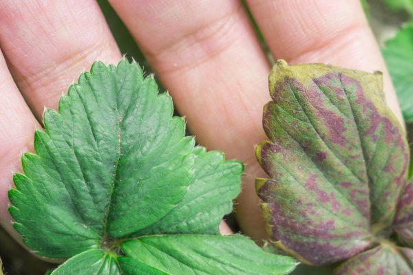 Что делать, если у растений скручиваются листья? - огород, сад, балкон - медиаплатформа миртесен