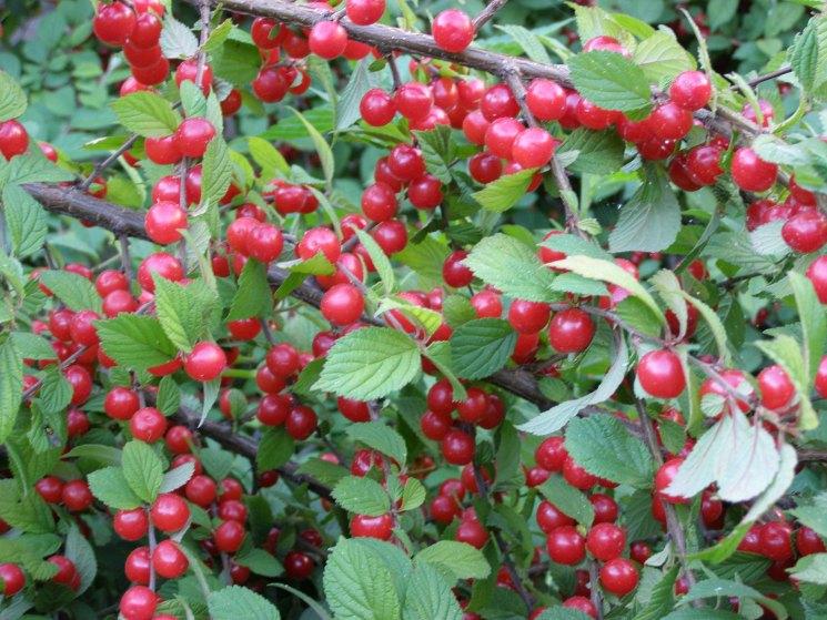 Войлочные вишни: популярные сорта, особенности посадки, ухода, обрезки и размножения с фото и видео