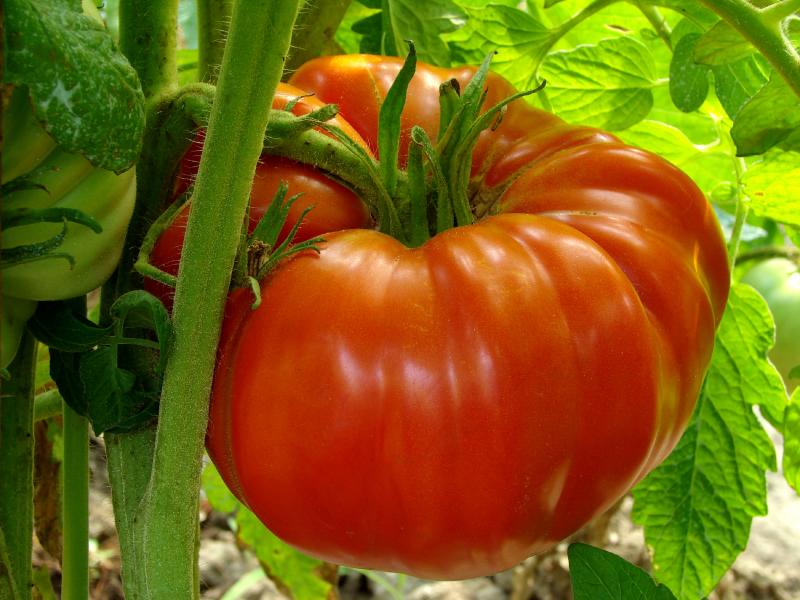 Семена томатов от коллекционеров на 2021 год: обзор