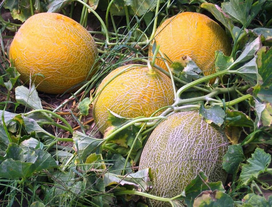Описание сорта ананасовой дыни, особенности выращивания и ухода
